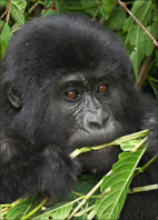Bild von Handys für Gorillas